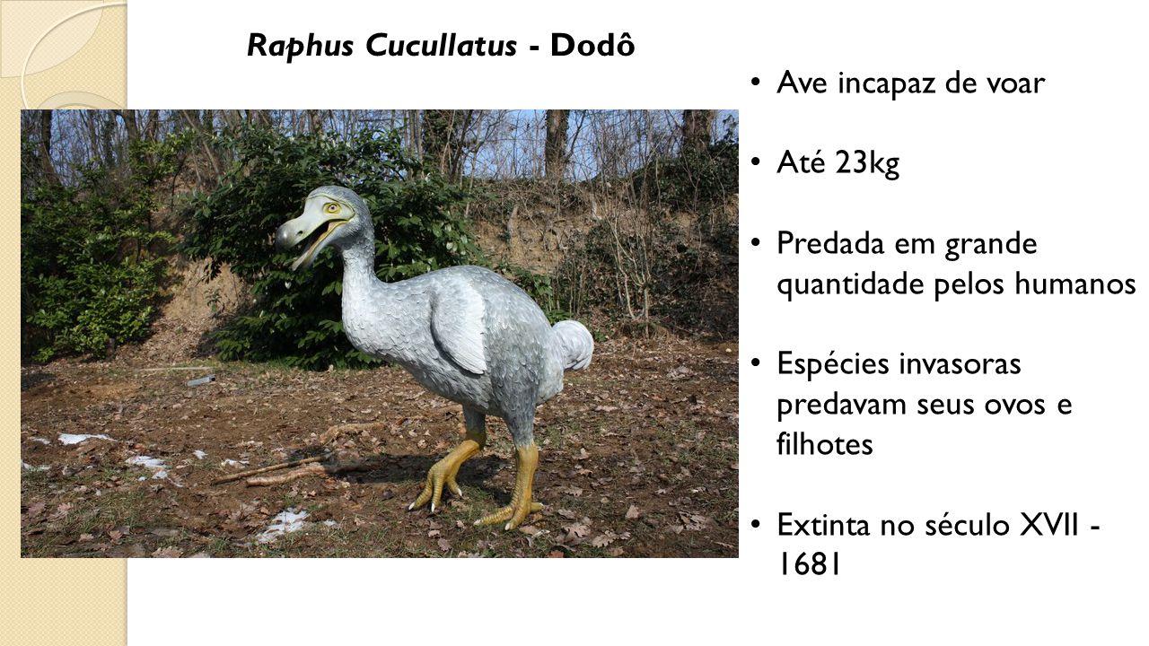 Raphus Cucullatus - Dodô Ave incapaz de voar Até 23kg Predada em grande quantidade pelos humanos Espécies invasoras predavam seus ovos e filhotes Extinta no século XVII - 1681