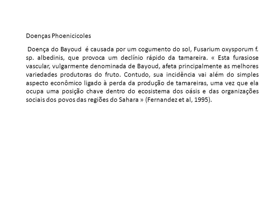 Doenças Phoenicicoles Doença do Bayoud é causada por um cogumento do sol, Fusarium oxysporum f.