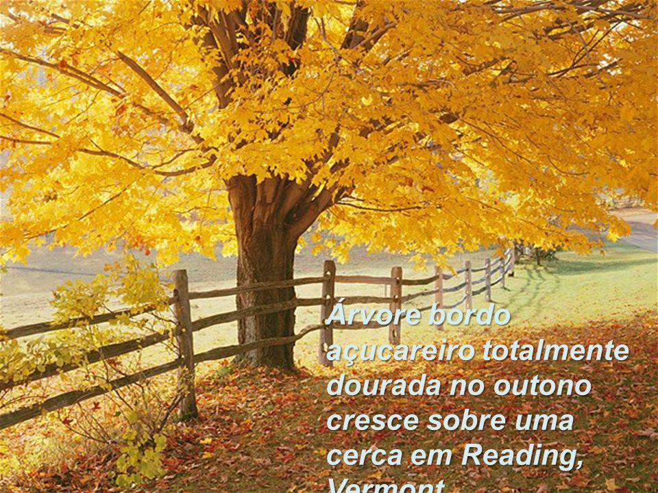 Árvore bordo açucareiro totalmente dourada no outono cresce sobre uma cerca em Reading, Vermont