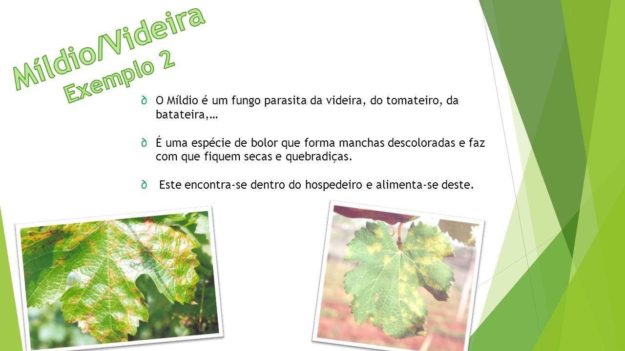 ∂O Míldio é um fungo parasita da videira, do tomateiro, da batateira,… ∂É uma espécie de bolor que forma manchas descoloradas e faz com que fiquem sec