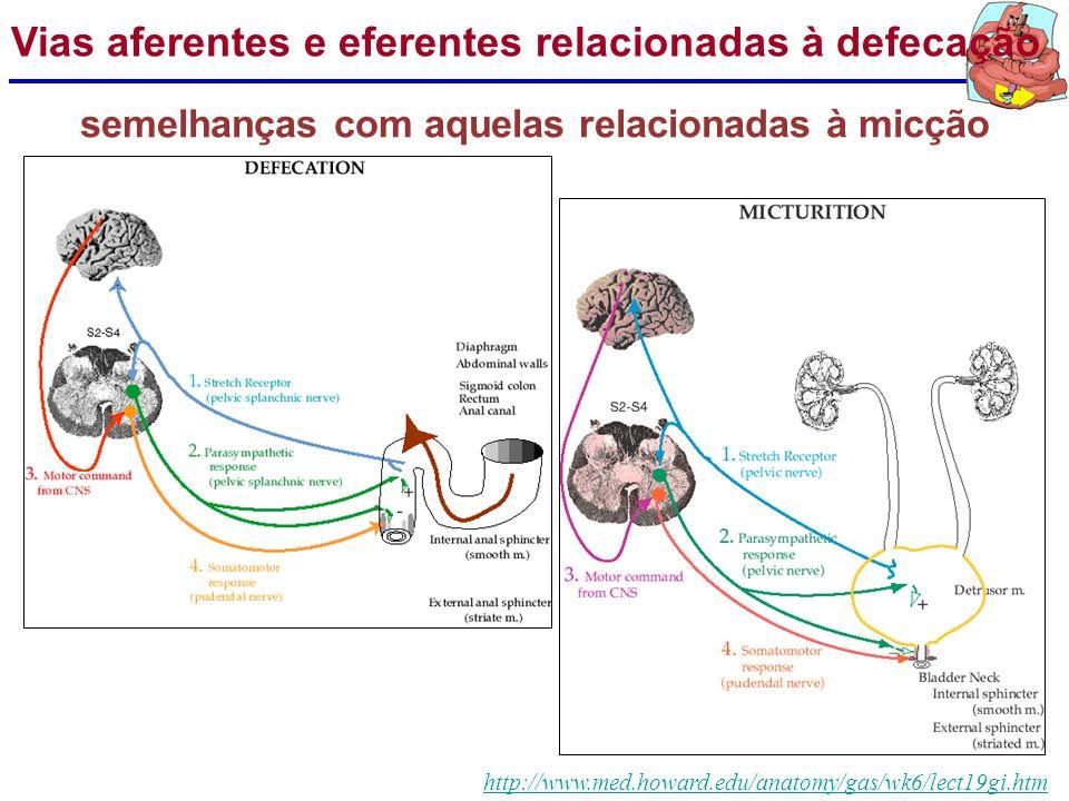 http://www.med.howard.edu/anatomy/gas/wk6/lect19gi.htm Via aferente (sensorial): avaliação do conteúdo retal. Geralmente, permite distinguir entre fla