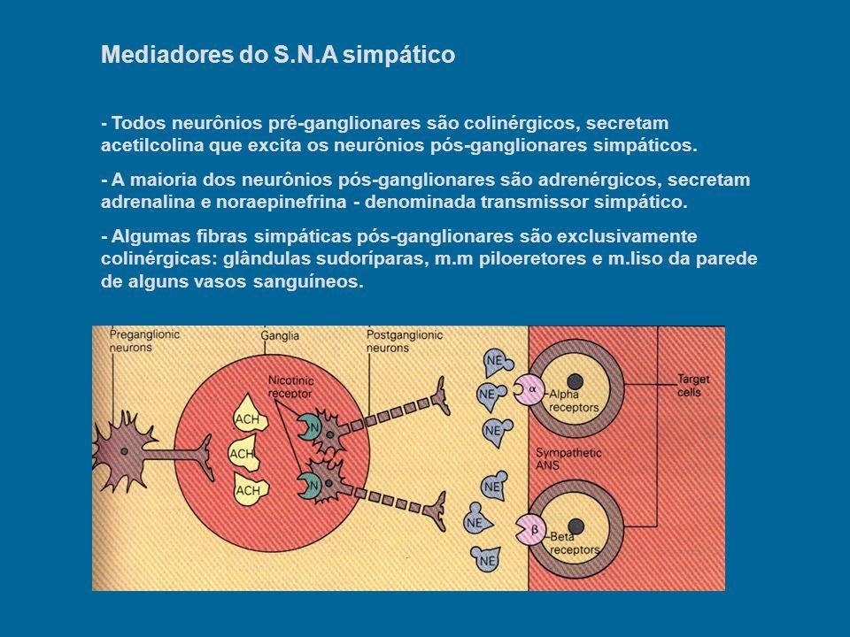 Mecanismo de secreção dos neurotransmissores - Quase todas as fibras simpáticas apenas tocam as células efetoras que inervam, formando dilatações denominadas varicosidades nesses locais.