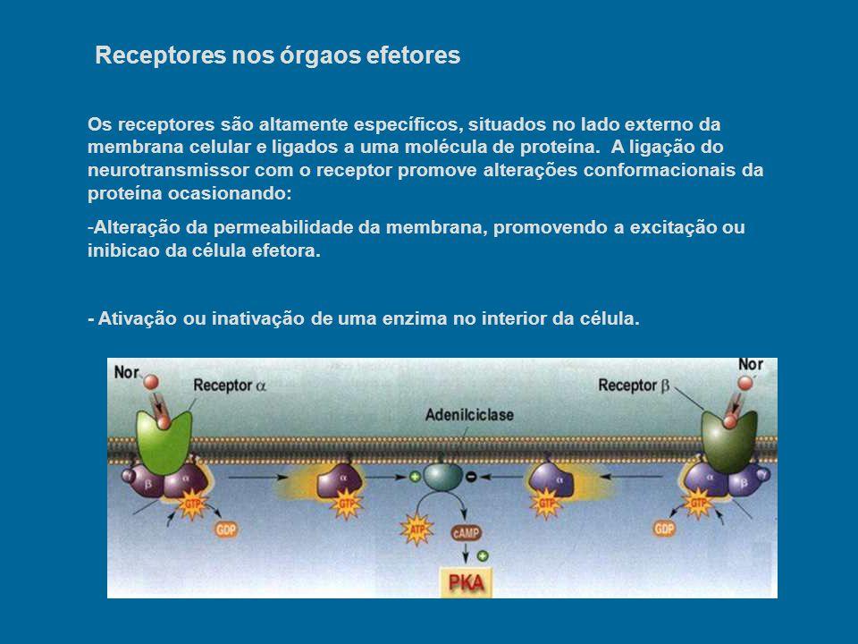 Receptores nos órgaos efetores Os receptores são altamente específicos, situados no lado externo da membrana celular e ligados a uma molécula de prote