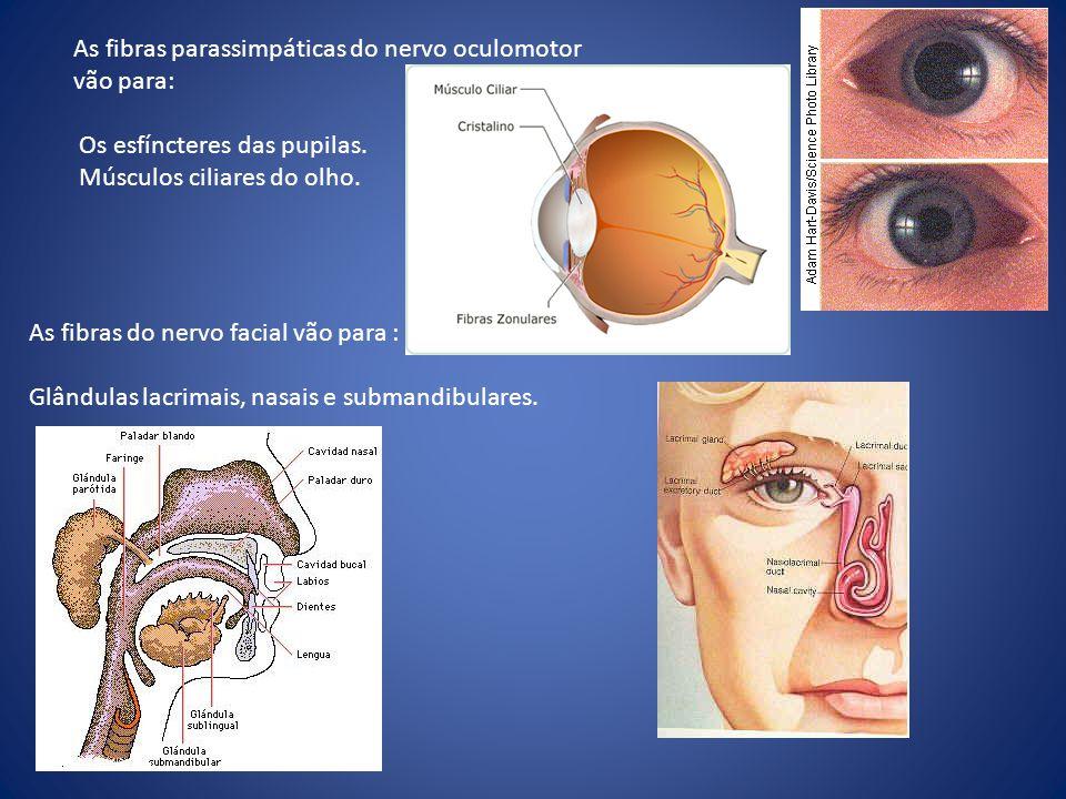 As fibras parassimpáticas do nervo oculomotor vão para: Os esfíncteres das pupilas. Músculos ciliares do olho. As fibras do nervo facial vão para : Gl