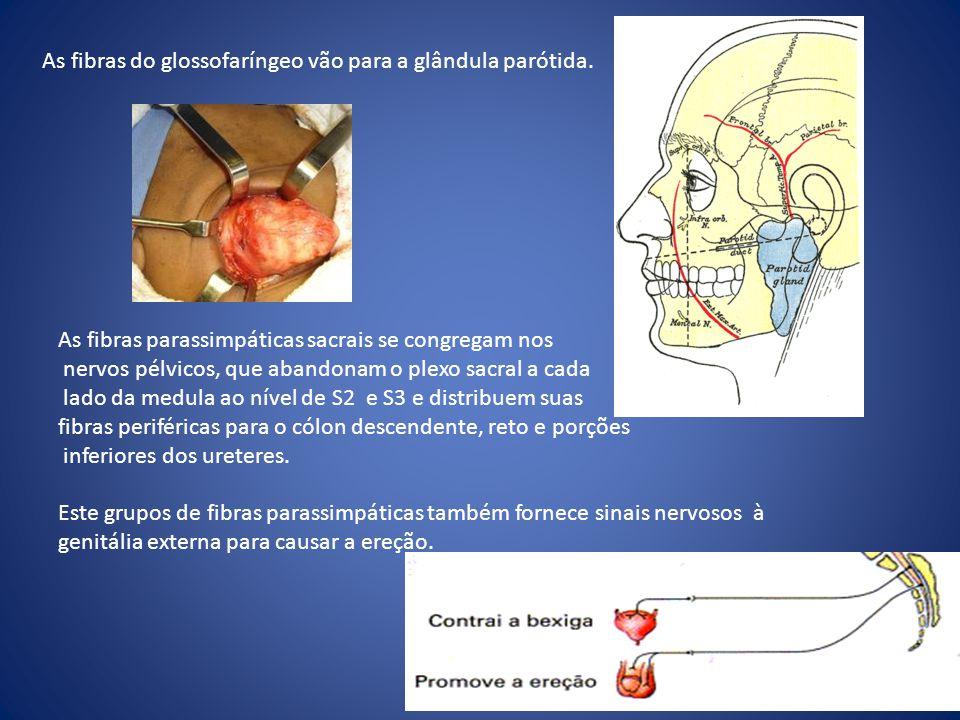 As fibras do glossofaríngeo vão para a glândula parótida. As fibras parassimpáticas sacrais se congregam nos nervos pélvicos, que abandonam o plexo sa