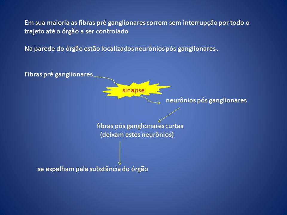 Em sua maioria as fibras pré ganglionares correm sem interrupção por todo o trajeto até o órgão a ser controlado Na parede do órgão estão localizados