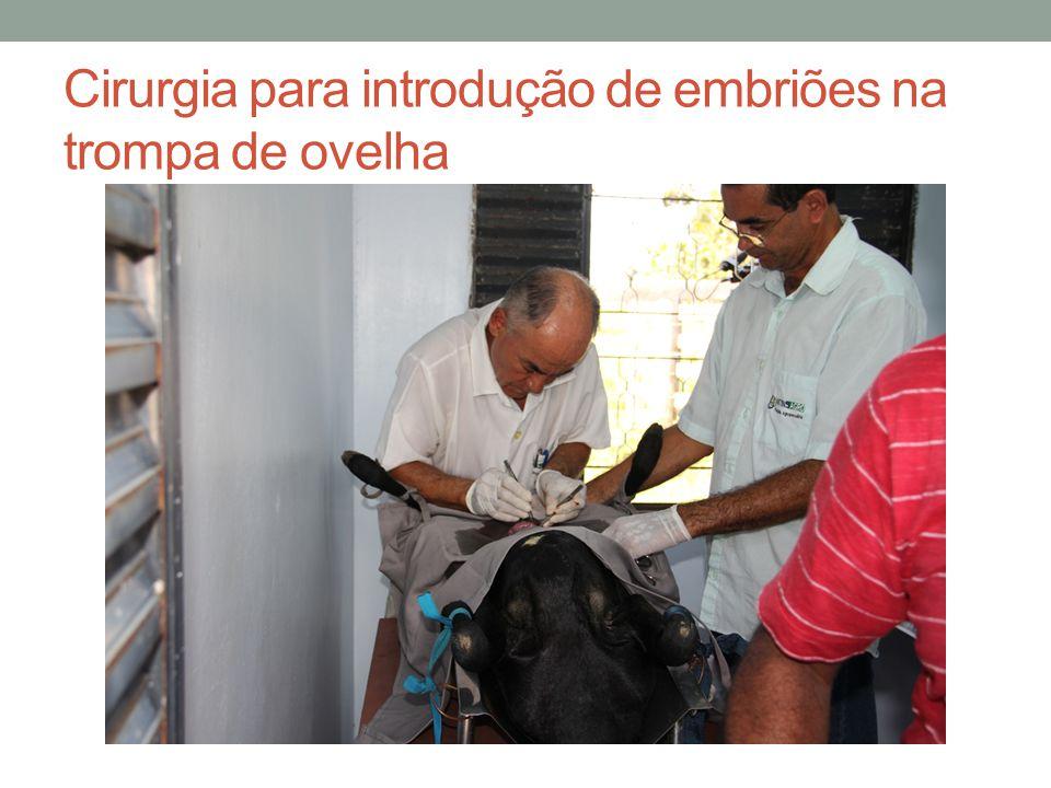 Cirurgia para introdução de embriões na trompa de ovelha