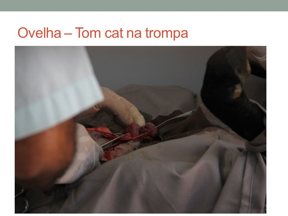 Ovelha – Tom cat na trompa