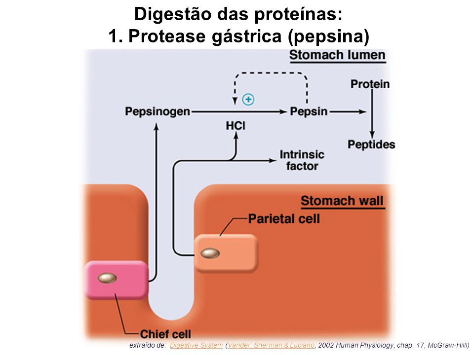 extraído de: Digestive System (Vander, Sherman & Luciano, 2002 Human Physiology, chap. 17, McGraw-Hilll)Digestive SystemVander, Sherman & Luciano Dige