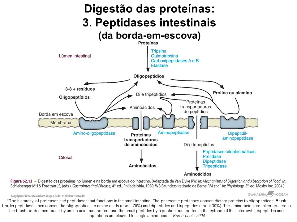 The hierarchy of proteases and peptidases that functions in the small intestine.