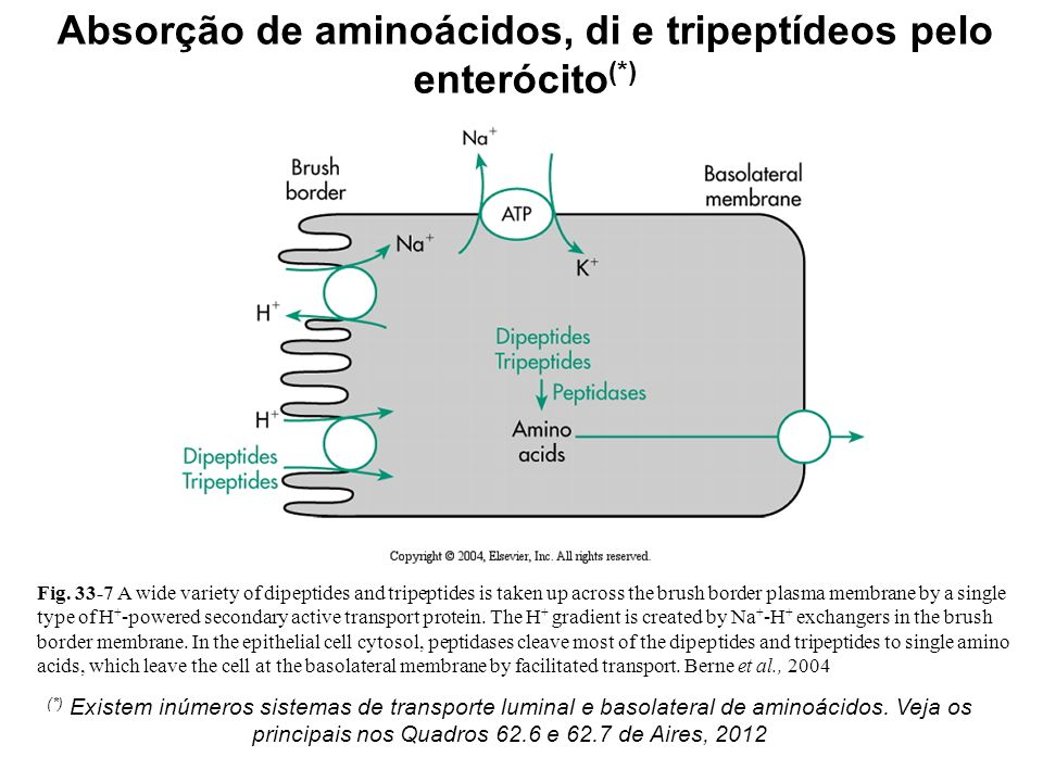 Fig. 33-7 A wide variety of dipeptides and tripeptides is taken up across the brush border plasma membrane by a single type of H + -powered secondary