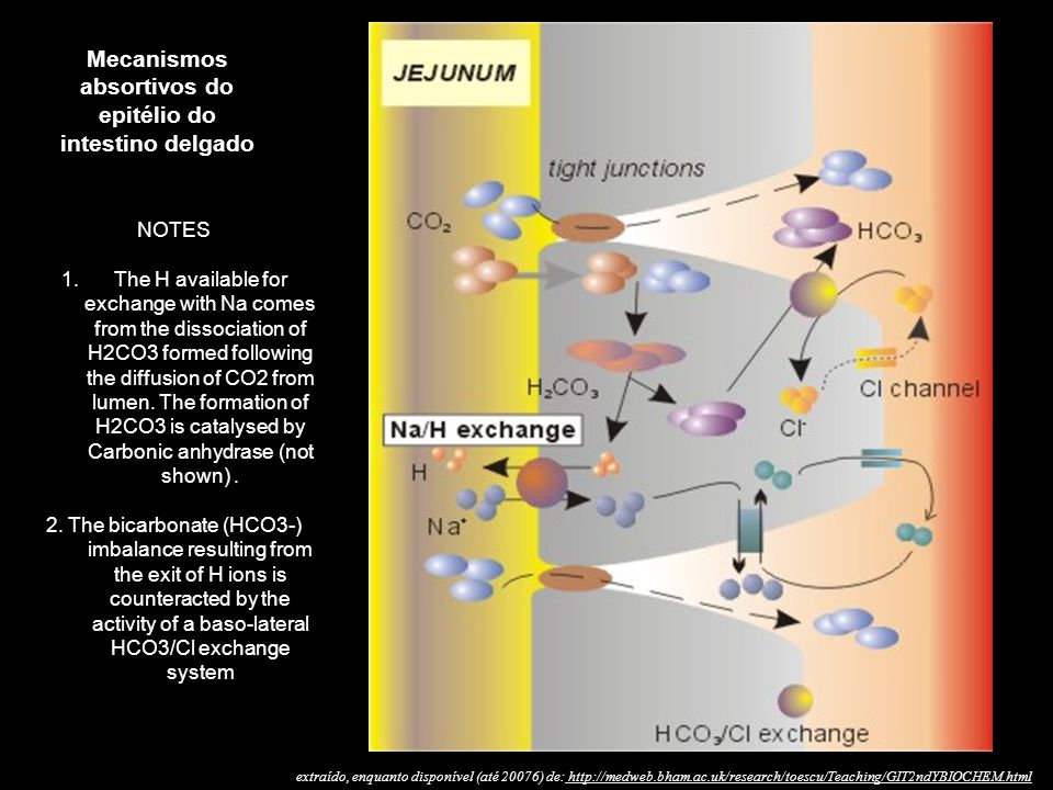 Mecanismos absortivos do epitélio do intestino delgado NOTES 1.The H available for exchange with Na comes from the dissociation of H2CO3 formed following the diffusion of CO2 from lumen.