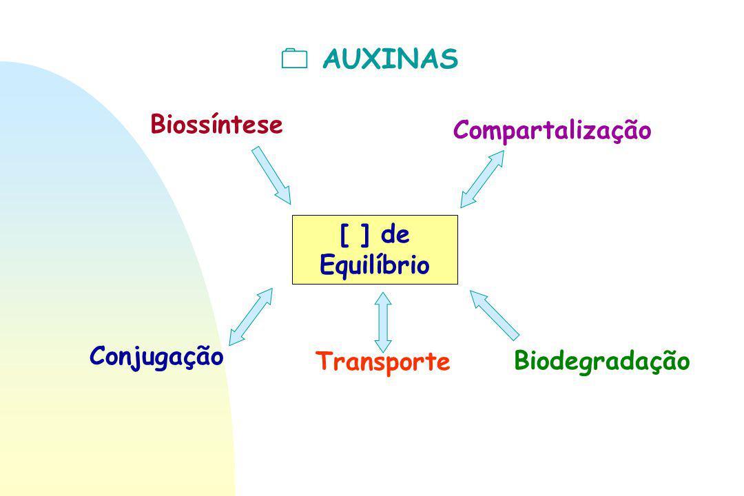  AUXINAS [ ] de Equilíbrio Biossíntese Compartalização Conjugação TransporteBiodegradação