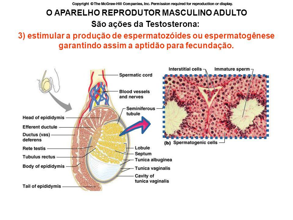 http://academic.pgcc.edu/~aimholtz/AandP/206_ONLINE/Repro/malerepro1.html O APARELHO REPRODUTOR MASCULINO ADULTO São ações da Testosterona: 3) estimular a produção de espermatozóides ou espermatogênese garantindo assim a aptidão para fecundação.