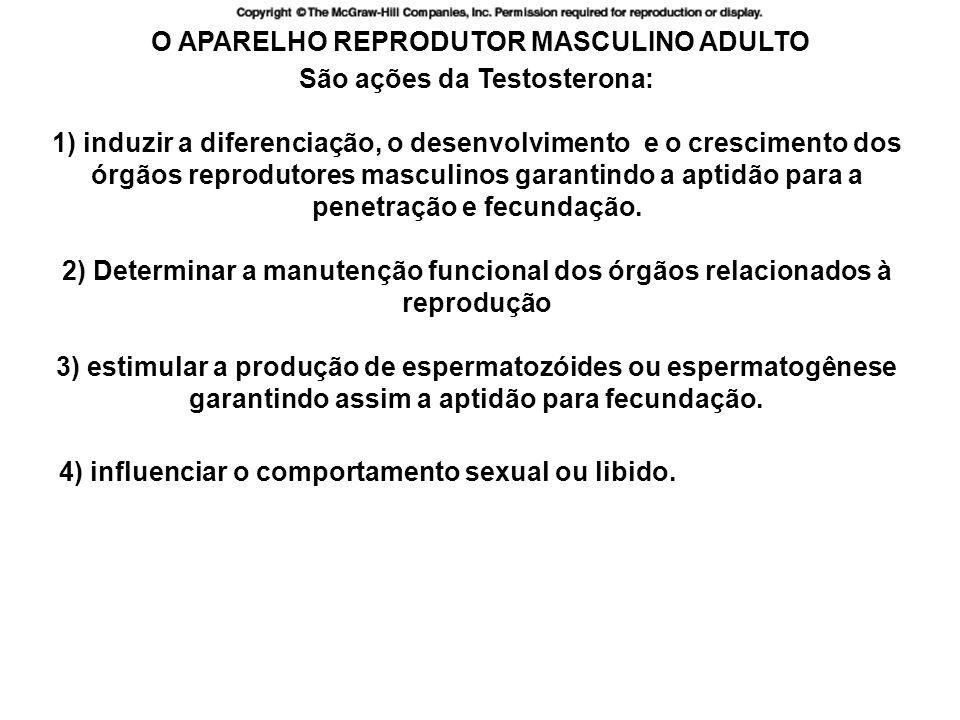 O APARELHO REPRODUTOR MASCULINO ADULTO 4) influenciar o comportamento sexual ou libido.