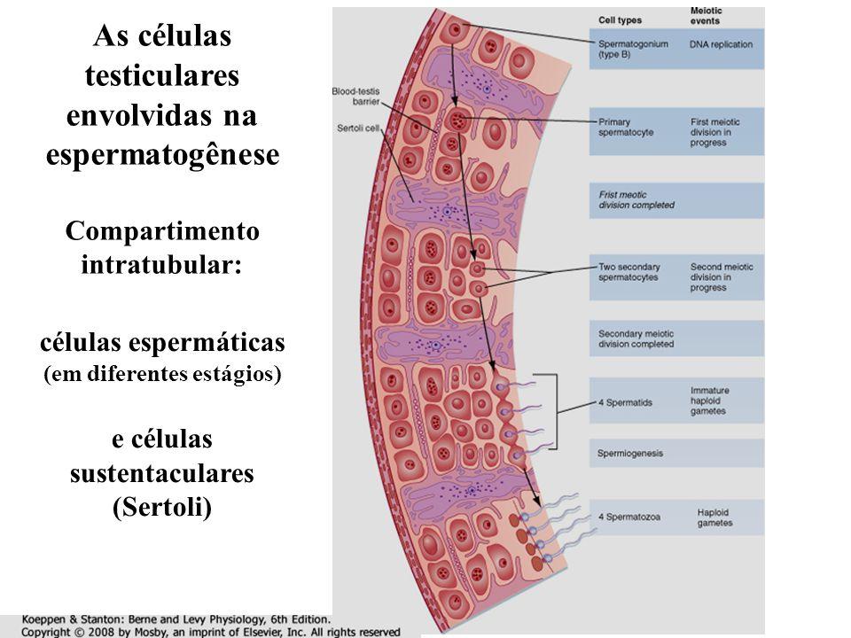 As células testiculares envolvidas na espermatogênese Compartimento intratubular: células espermáticas (em diferentes estágios) e células sustentaculares (Sertoli)