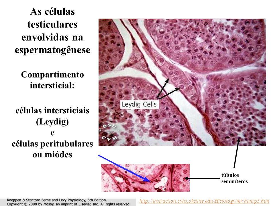 As células testiculares envolvidas na espermatogênese Compartimento intersticial: células intersticiais (Leydig) e células peritubulares ou miódes túbulos seminíferos http://instruction.cvhs.okstate.edu/Histology/mr/himrp3.htm