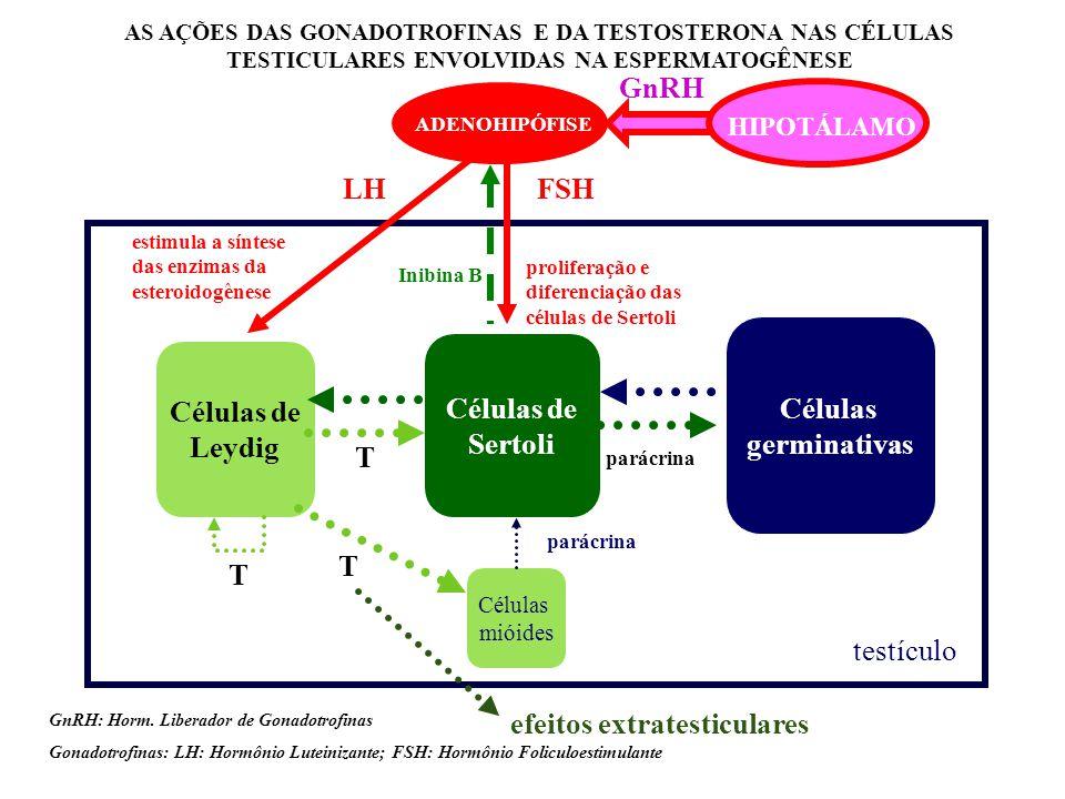 Células de Leydig Células de Sertoli Células germinativas testículo AS AÇÕES DAS GONADOTROFINAS E DA TESTOSTERONA NAS CÉLULAS TESTICULARES ENVOLVIDAS NA ESPERMATOGÊNESE T parácrina Células mióides parácrina ADENOHIPÓFISE FSHLH GnRH: Horm.