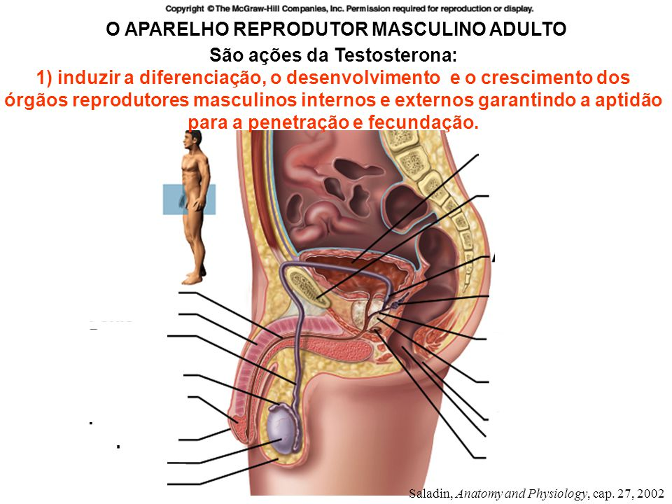 Espermatogênese 3.