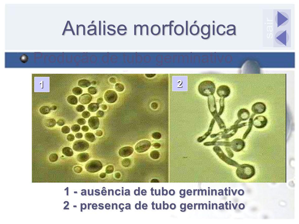 Análise morfológica Produção de tubo germinativo 1 - ausência de tubo germinativo 2 - presença de tubo germinativo 1 2