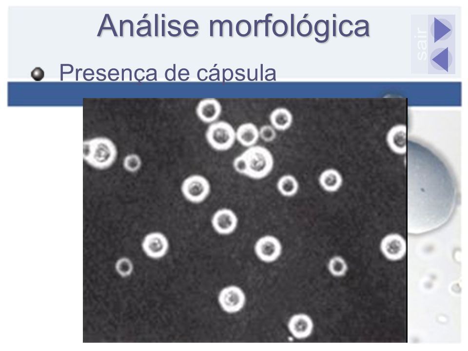 Análise morfológica Presença de cápsula