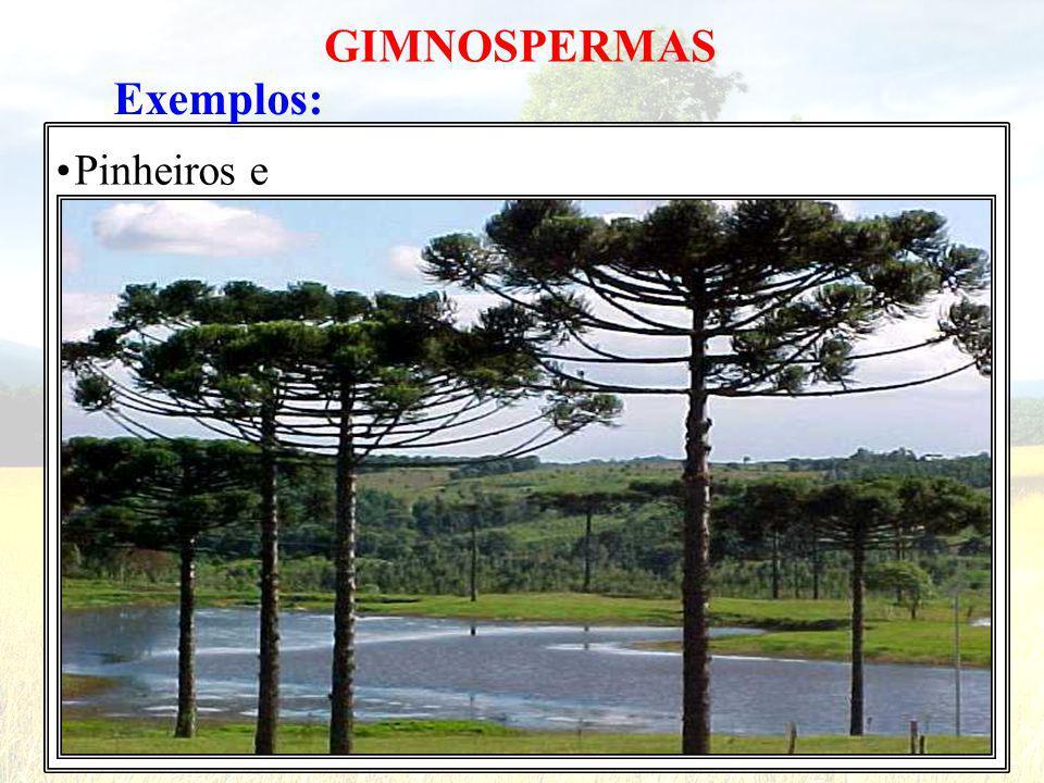 Exemplos: Pinheiros e GIMNOSPERMAS
