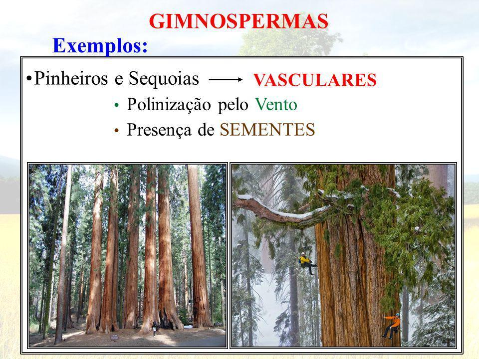 Exemplos: GIMNOSPERMAS Pinheiros e Sequoias VASCULARES Polinização pelo Vento Presença de SEMENTES