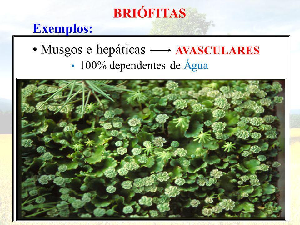 Exemplos: Musgos e BRIÓFITAS hepáticas AVASCULARES 100% dependentes de Água