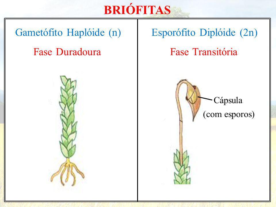 BRIÓFITAS Gametófito Haplóide (n) Fase Duradoura Esporófito Diplóide (2n) Fase Transitória Cápsula (com esporos)