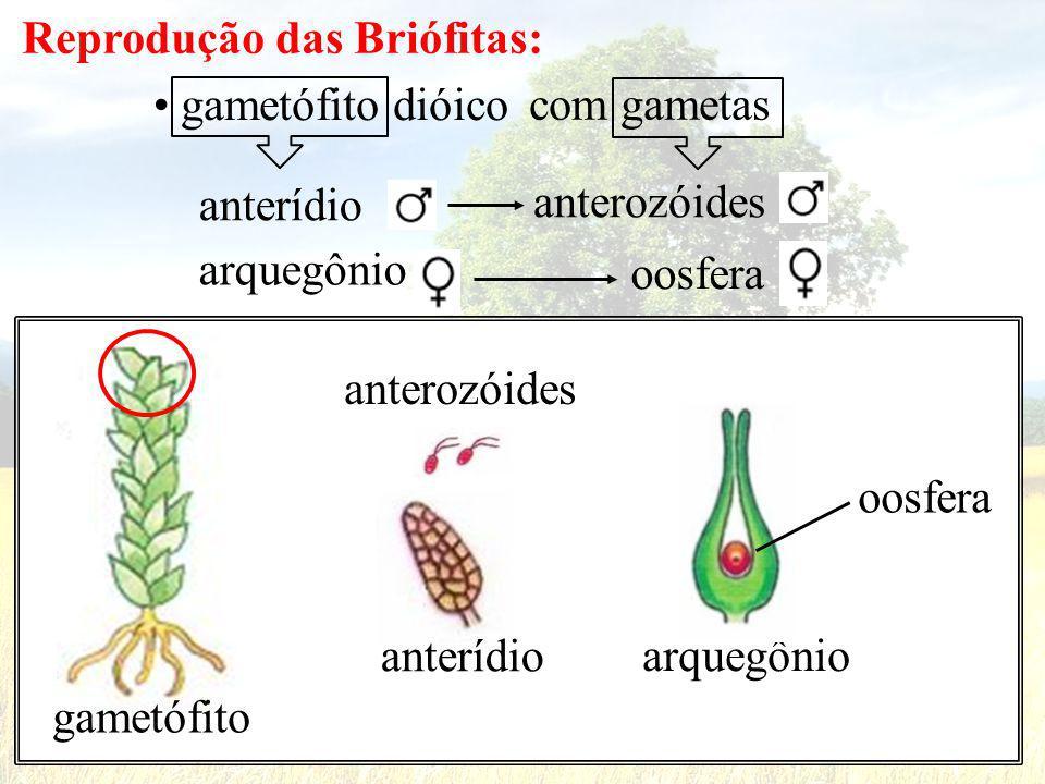 Reprodução das Briófitas: gametófito dióico com gametas arquegônio anterídio anterozóides oosfera gametófito anterídio anterozóides arquegônio oosfera