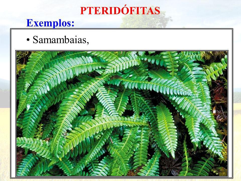 Exemplos: Samambaias, PTERIDÓFITAS