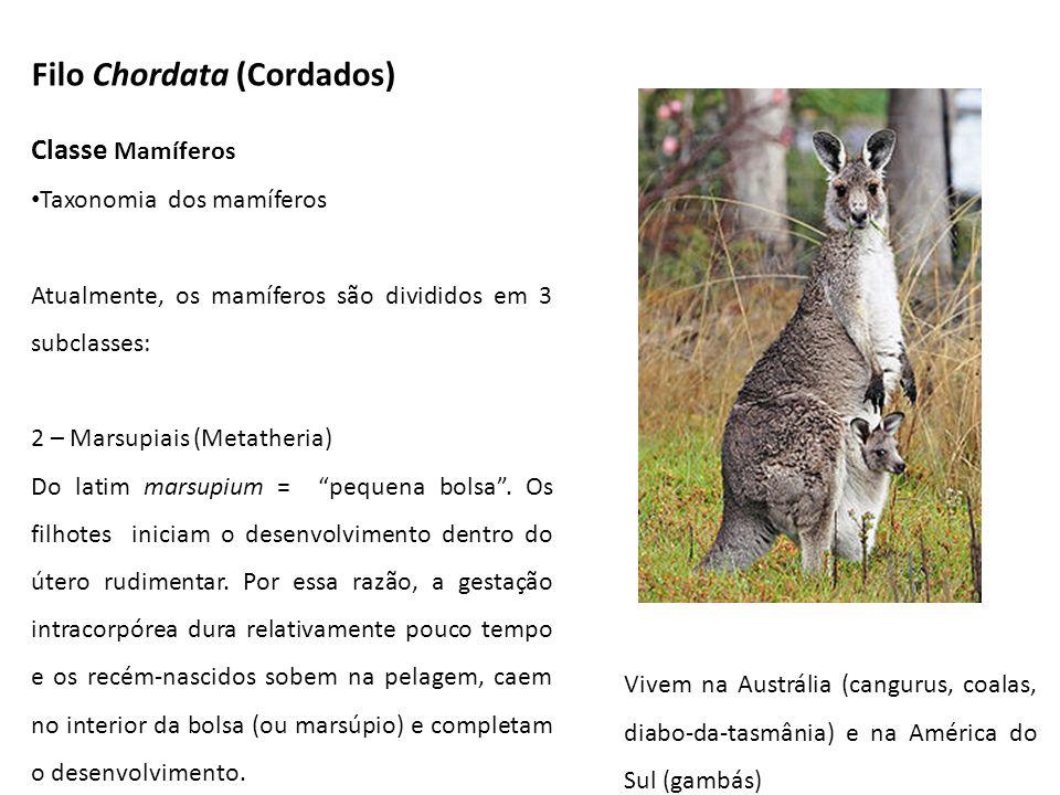 Filo Chordata (Cordados) Classe Mamíferos Taxonomia dos mamíferos Atualmente, os mamíferos são divididos em 3 subclasses: 2 – Marsupiais (Metatheria)