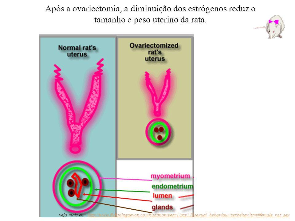 Após a ovariectomia, a diminuição dos estrógenos reduz o tamanho e peso uterino da rata. veja mais em: http://www.flyfishingdevon.co.uk/salmon/year1/p