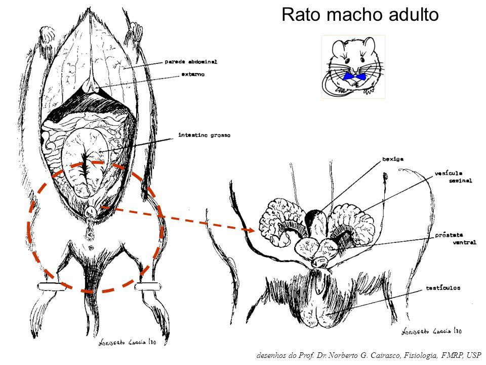Rato macho adulto desenhos do Prof. Dr. Norberto G. Cairasco, Fisiologia, FMRP, USP