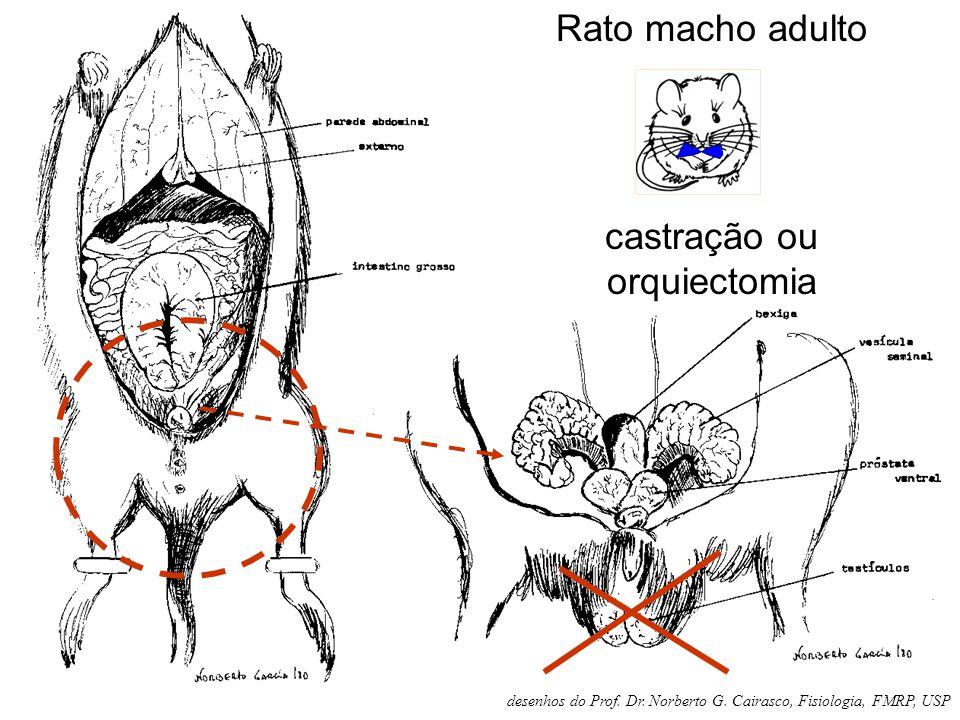 Rato macho adulto castração ou orquiectomia desenhos do Prof. Dr. Norberto G. Cairasco, Fisiologia, FMRP, USP