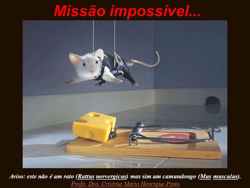 Missão impossível... Aviso: este não é um rato (Rattus norvergicus) mas sim um camundongo (Mus musculus). Profa. Dra. Cristina Maria Henrique Pinto