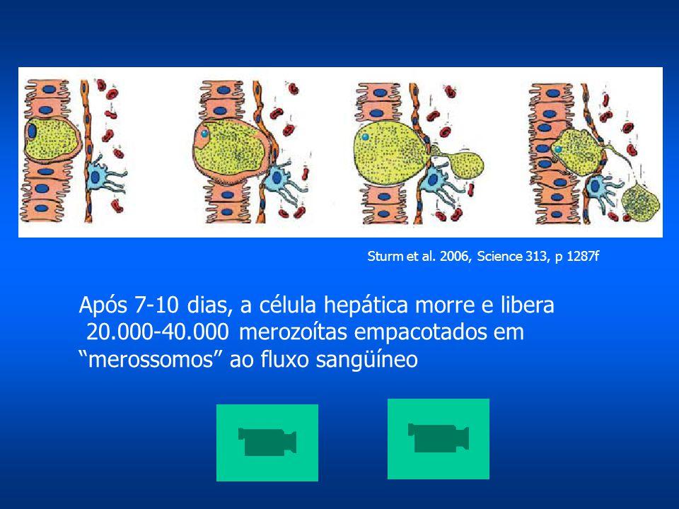 """Após 7-10 dias, a célula hepática morre e libera 20.000-40.000 merozoítas empacotados em """"merossomos"""" ao fluxo sangüíneo Sturm et al. 2006, Science 31"""