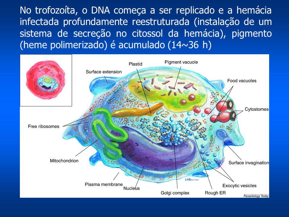 No trofozoíta, o DNA começa a ser replicado e a hemácia infectada profundamente reestruturada (instalação de um sistema de secreção no citossol da hem