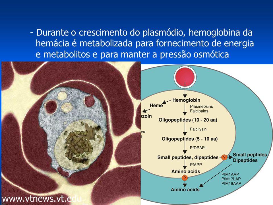 - Durante o crescimento do plasmódio, hemoglobina da hemácia é metabolizada para fornecimento de energia e metabolitos e para manter a pressão osmótica hemoglobina ------> aminoácidos + heme--> polímero (hemozoína) energia e/ou síntese protéica do plasmódio www.vtnews.vt.edu