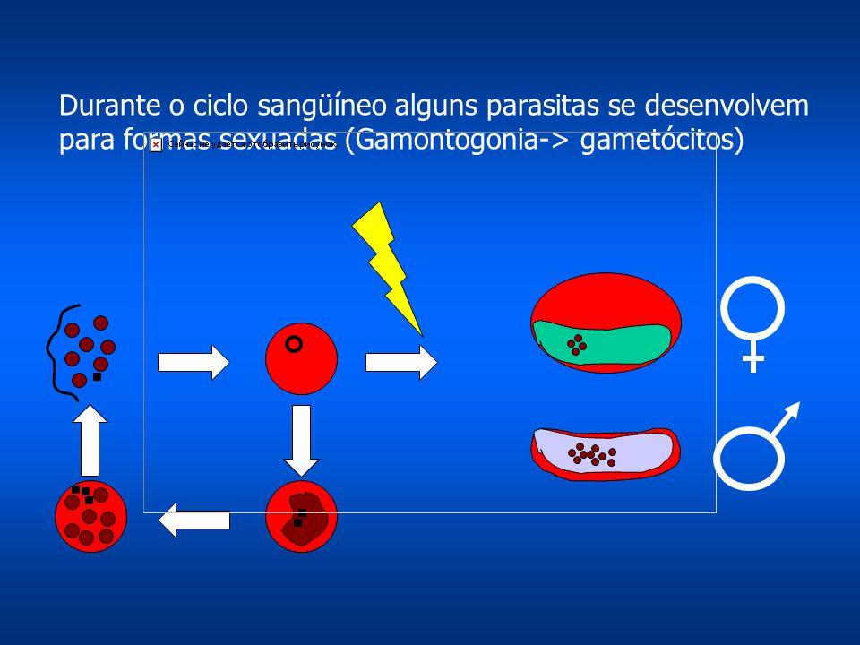 Durante o ciclo sangüíneo alguns parasitas se desenvolvem para formas sexuadas (Gamontogonia-> gametócitos)