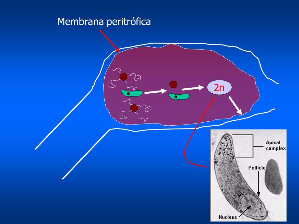 2n Membrana peritrófica