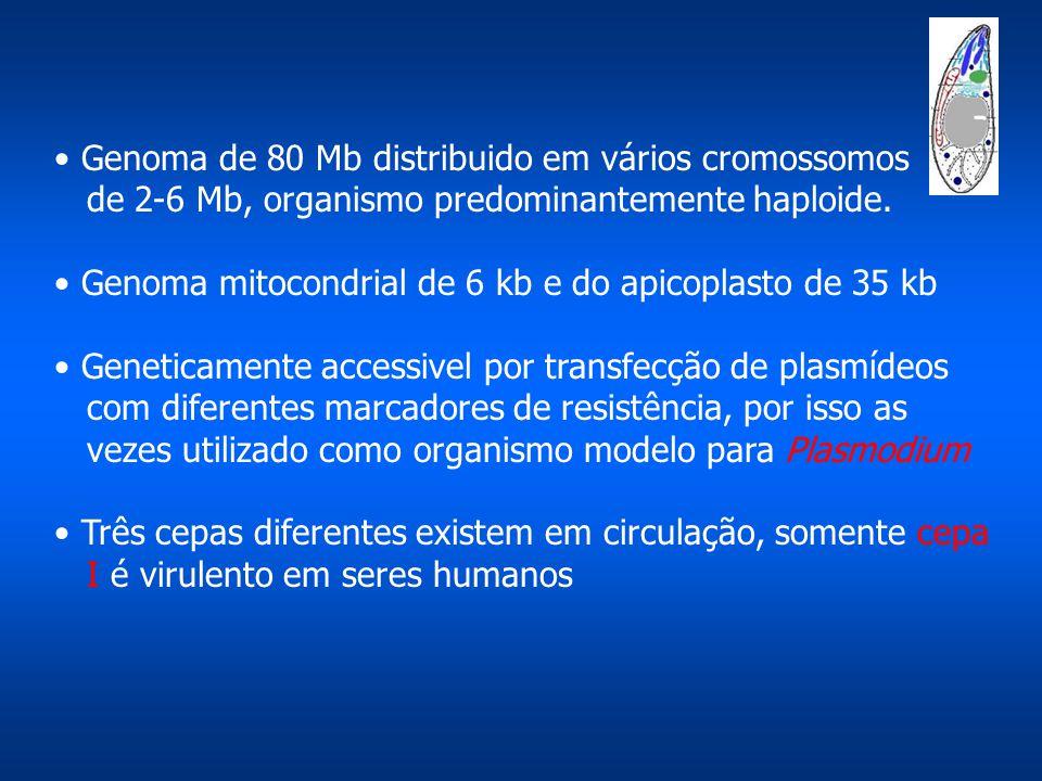 Genoma de 80 Mb distribuido em vários cromossomos de 2-6 Mb, organismo predominantemente haploide. Genoma mitocondrial de 6 kb e do apicoplasto de 35