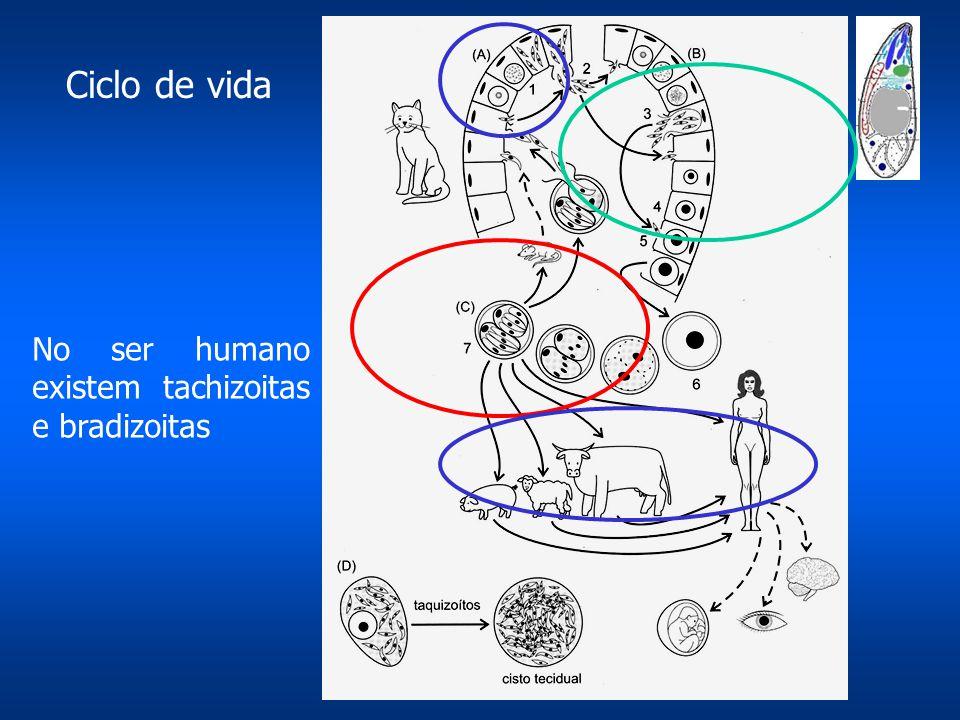 Ciclo de vida No ser humano existem tachizoitas e bradizoitas