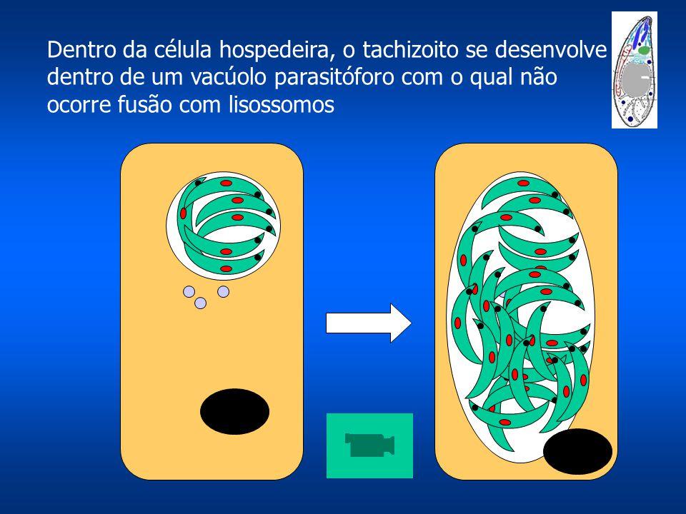 Dentro da célula hospedeira, o tachizoito se desenvolve dentro de um vacúolo parasitóforo com o qual não ocorre fusão com lisossomos