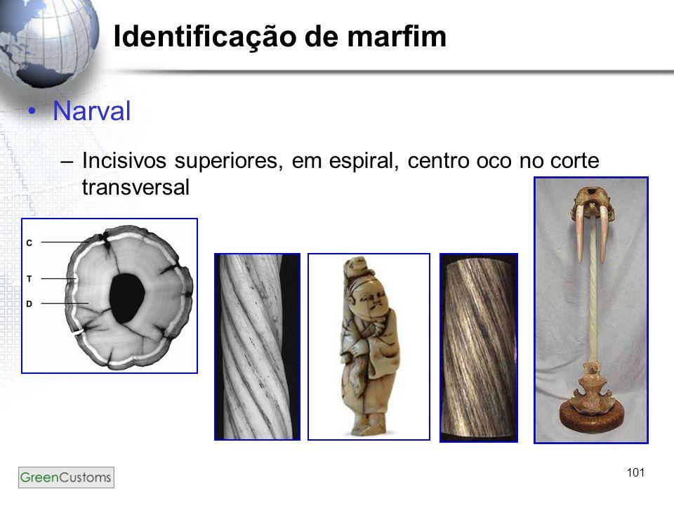 101 Identificação de marfim Narval –Incisivos superiores, em espiral, centro oco no corte transversal