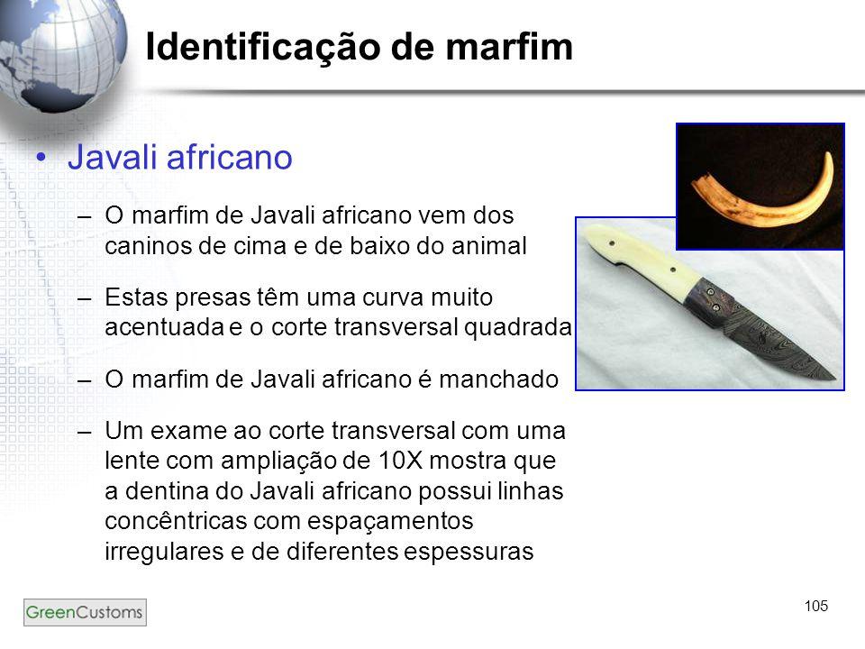 105 Identificação de marfim Javali africano –O marfim de Javali africano vem dos caninos de cima e de baixo do animal –Estas presas têm uma curva muit