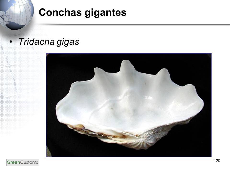120 Conchas gigantes Tridacna gigas