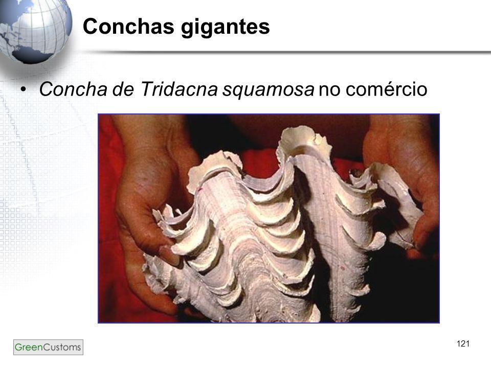 121 Conchas gigantes Concha de Tridacna squamosa no comércio