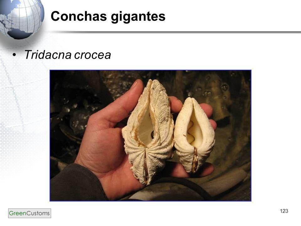 123 Conchas gigantes Tridacna crocea