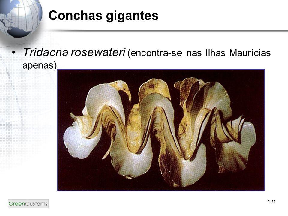 124 Conchas gigantes Tridacna rosewateri (encontra-se nas Ilhas Maurícias apenas)